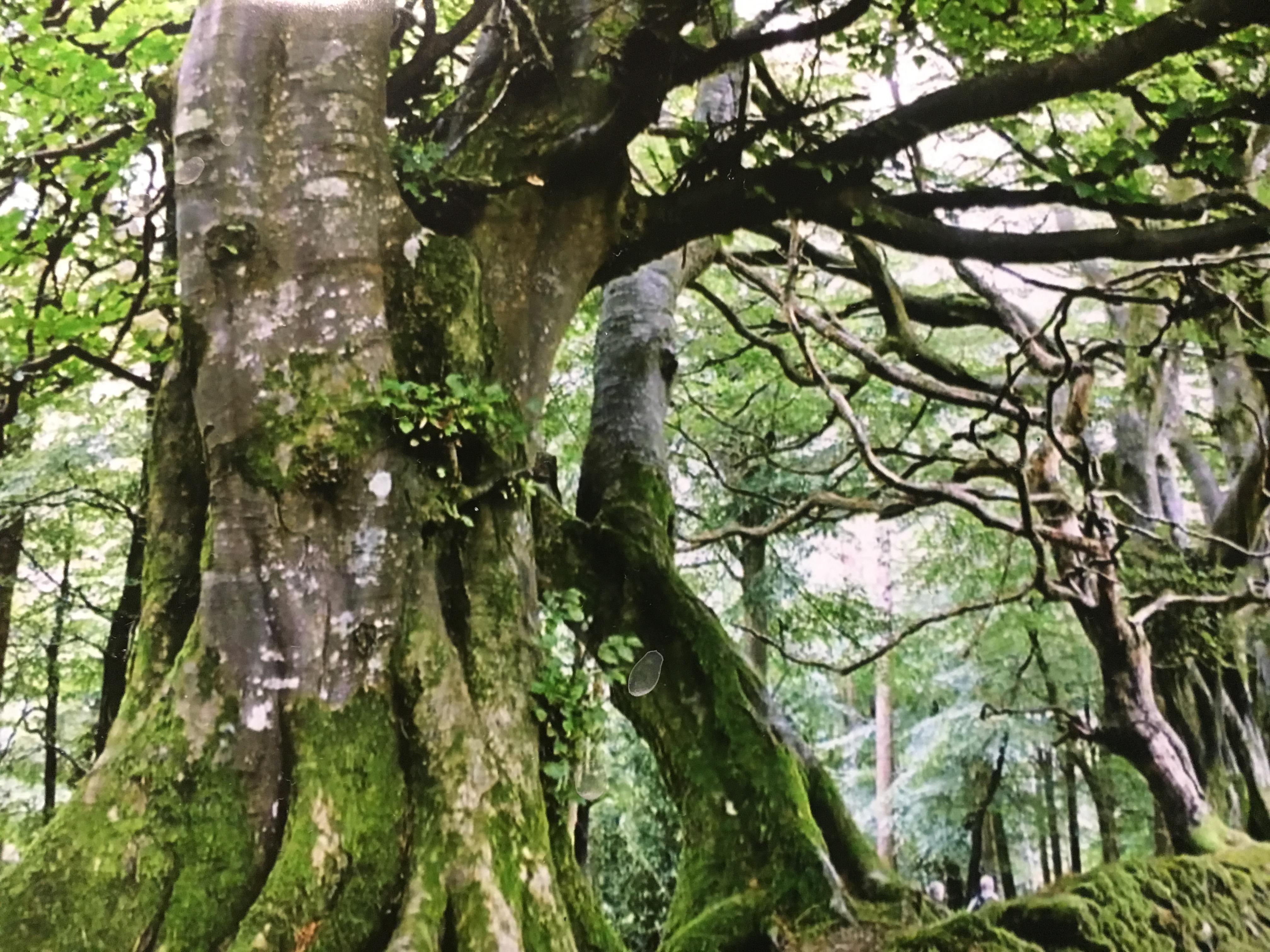 Gini's Irish Forest.JPG